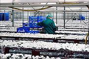 Nederland, Horst, 15-10-2006Champignon kwekerij. In deze hal oogsten, plukken, werken voornamelijk werknemers uit Polen legaal de champignons die op een andere locatie opgekweekt zijn. Foto: Flip Franssen/Hollandse Hoogte