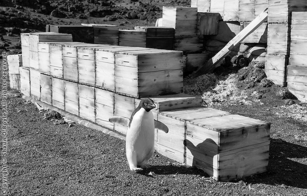 Adelie penguin at Shackleton's Hut