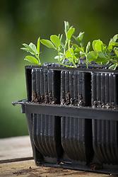 Sweet pea seedlings germinated in root trainers