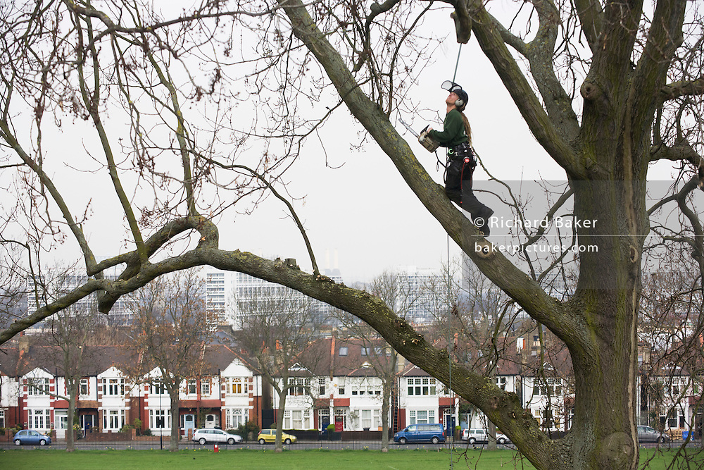 A tree surgeon working as a contractor for London's Lambeth council trims high 100 year-old mature ash branches and boughs in Ruskin Park.