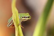 European tree frog, Hyla arborea, Photographed in Israel in October