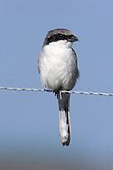 Adult Loggerhead Shrike -Lanius ludovicianus