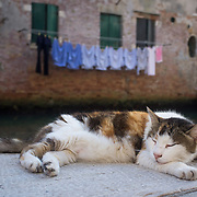 """VENICE, ITALY - AUGUST 27:  A stray car sleeps on the """"fondamenta"""" on the edge of a canal on August 27, 2011 in Venice, Italy. Dingo is the Anglo-Venetian association part of the AISPA,  founded in 1965 by Helen Saunders and Elena Scapabolla and is devoted to the welfare of venetian stray cats. Cats in Venice"""