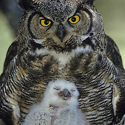 Great Horned Owl (Bubo virginianus) portrait of an adult and a chick in their nest during the springtime.