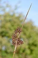 Sharp Rush - Juncus acutus