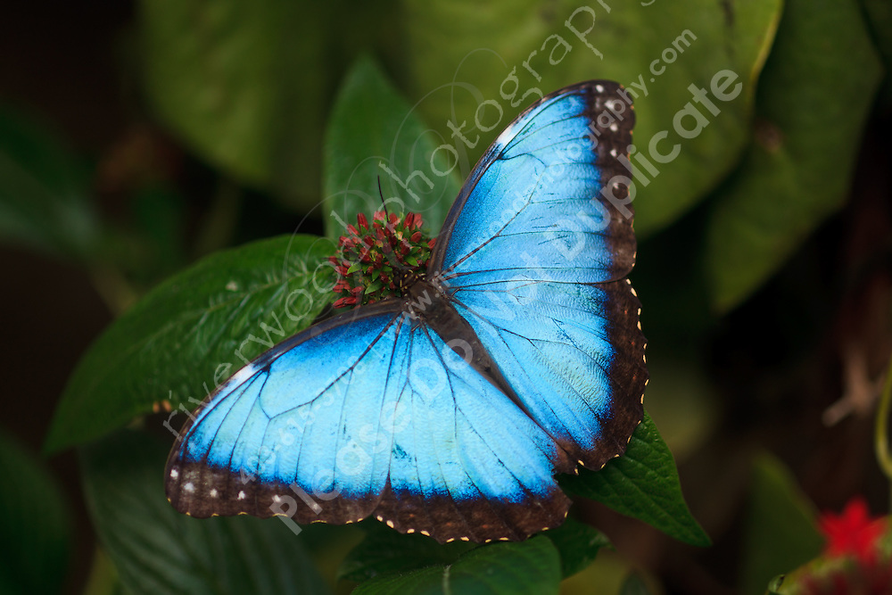 A beautiful blue butterfly rests on green foliage at the conservatory at the Calgary Zoo.<br /> <br /> ©2010, Sean Phillips<br /> http://www.LouiseandSean.com