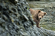 A Brown bear spring cub peeks out from behind a bluff on the beach at the lower lagoon at the McNeil River State Game Sanctuary on the Kenai Peninsula, Alaska. The remote site is accessed only with a special permit and is the world's largest seasonal population of brown bears in their natural environment.