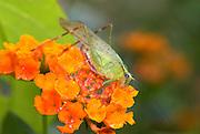 Green Grasshopper, on orange flower, Manu, Peru, jungle, soft focus, colourful. .South America....