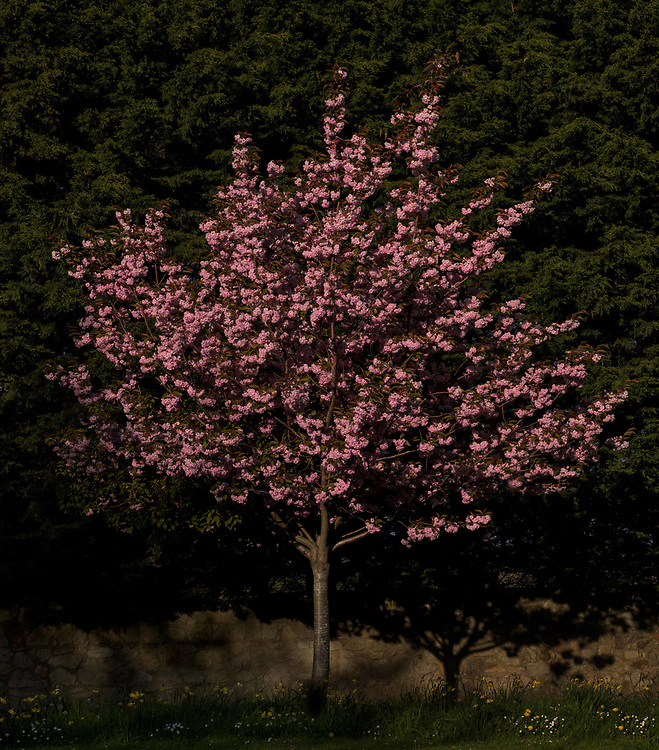 A lone Cherry Blossom at sunset, adjacent to a busy road in Co.Wicklow, Ireland.