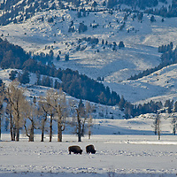 American Bison (Bison bison) graze on snow-covered grass in Yellowstone National Park, Wyoming.