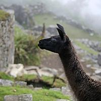 South America, Peru, Machu Picchu. Llama amongst the ruins at Machu Picchu.