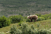 A brown bear digs on the bluff for ground squirrels at the McNeil River State Game Sanctuary on the Kenai Peninsula, Alaska. The remote site is accessed only with a special permit and is the world's largest seasonal population of brown bears in their natural environment.