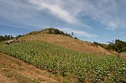 Vineyard. Domaine Jo Pithon, Anjou, Loire, France
