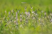 Spotted souslik food. Grassland, Werbkowice-Zamosc, Sunsilks,<br /> Poland<br /> Sciuridae family<br /> Rodent