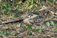 Common Pauraque - Nyctidromus albicollis