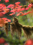 A a maple, heavy with moss turns color in the Hemple Creek Picnic area in the Mount Baker-Snoqualmie National Forest east of Granite Falls. (Steve Ringman / The Seattle Times)