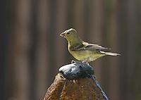 Female lesser goldfinch, Carduelis psaltria. On a backyard fountain in the Santa Cruz Mountains, California