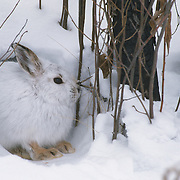 Snowshoe hare (Lepus americanus) in its white color phase. Canada