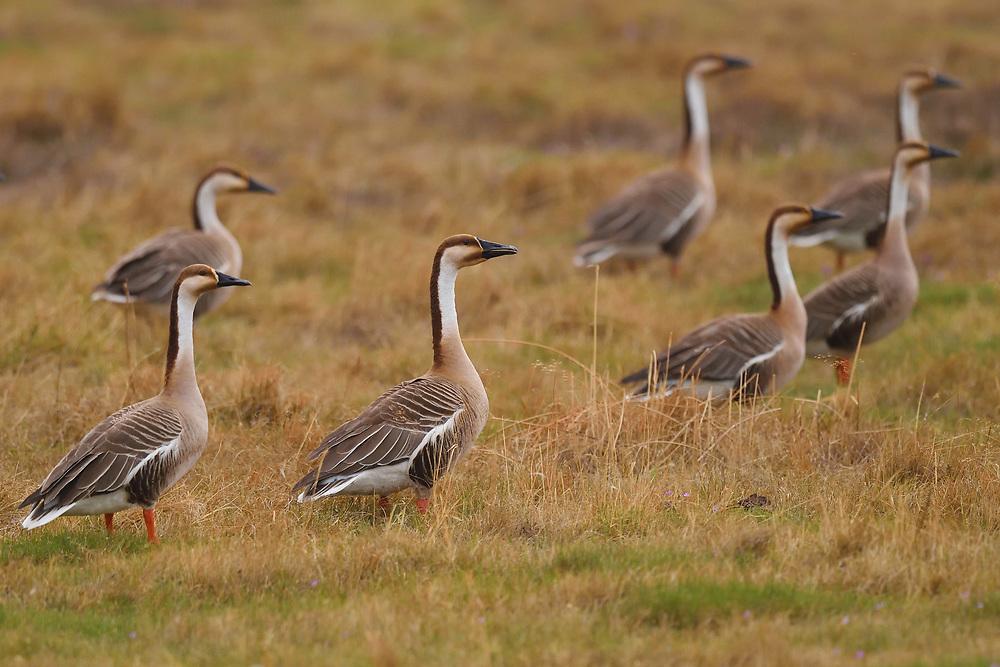 Swan Geese, Anser cygnoides, Inner Mongolia, China