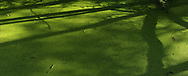 Duckweed gives off a bright green colour like nothing else I know.<br /> Tree branch shadows cast onto the surface make a wonderful artistic look.