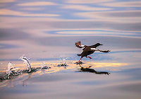Pigeon Guillemot takes off