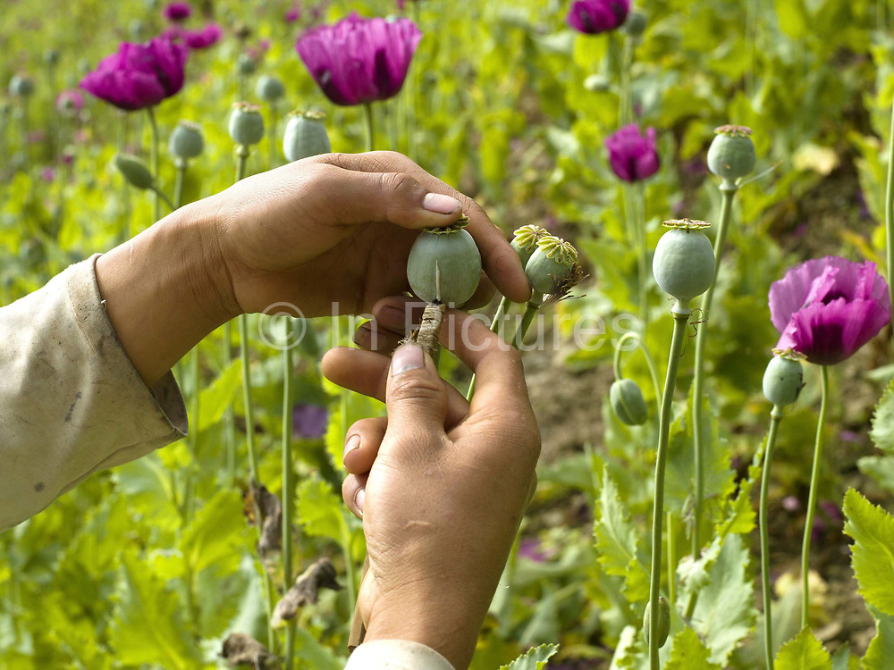 An Akha subsistence farmer scores opium poppies in an upland field in remote Phongsaly province, Lao PDR. After the petals fall from the opium poppy, the heads are incised with a 4 bladed tool; the tool is used to score the skin lightly from top to bottom. During the day, the sap oozes out of the cuts and hangs in tears on the poppy head. The next day the sap is then scraped into a metal container. As recently as 1998, Lao PDR was the third largest illicit opium poppy producer in the world.  From 1998 to 2005, opium poppy cultivation in Lao PDR was reduced by 93 per cent.  In more remote areas where cash crops are not viable, surveys from UNODC have shown that between 2008 and 2011 the area under opium poppy cultivation has doubled and continues to rise.