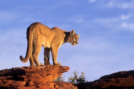 Mountain Lion or Cougar, (Felis concolor) In canyonlands of southern Utah Red rock country.  Captive Animal.