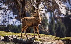 THEMENBILD - ein Rotwild Hirsch am Ufer eines Teiches, aufgenommen am 07. März 2019 in Aurach, Oesterreich // a deer deer on the shore of a pond, Austria on 2019/03/07. EXPA Pictures © 2019, PhotoCredit: EXPA/Stefanie Oberhauser