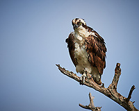 Osprey perched on a dead tree.  Biolab Road, Merritt Island National Wildlife Refuge. Image taken with a Nikon D4 camera and 400 mm f/4 lens (ISO 110, 400 mm, f/4, 1/1250 sec).