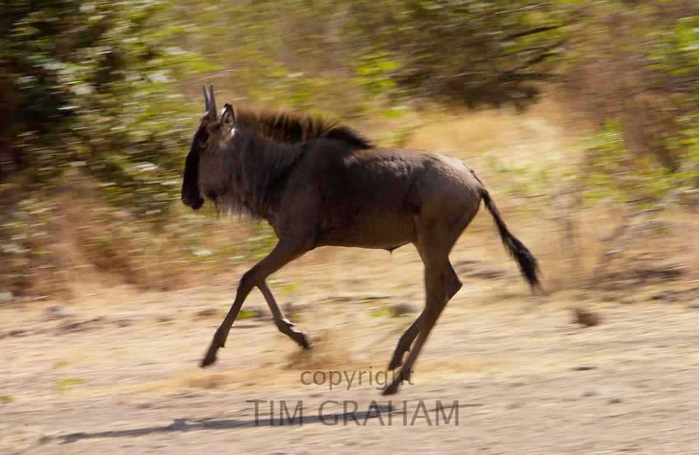 Juvenile migrating Blue Wildebeest running, Grumeti, Tanzania