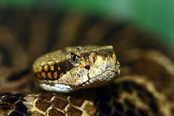 July 2007: Timber Rattlesnake, Chattanooga Nature Center.  Attractions near Chattanooga Tennessee. Point Park, National Park Service - Lookout Mountain, TN. (Photo by Alan Look)