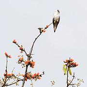 Black-winged Kite (Elanus caeruleus) sitting at the very to of a Hadua tree in Kanha National Park, India.