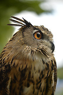 Old Westbury, New York, U.S. - August 23, 2014 - AUGIE, a 4-year-old male Eurasian Eagle Owl (Bubo bubo) with large orange eyes, is from non-profit WINORR, Wildlife in Need of Rescue and Rehabilitation, at the 54th Annual Long Island Scottish Festival and Highland Games, co-hosted by L. I. Scottish Clan MacDuff, at Old Westbury Gardens. WINORR is run by the Horvaths, licensed animal rehabilitators in North Massapequa.