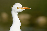 Close up of the head of a Cattle Egret (Bubulcus ibis)