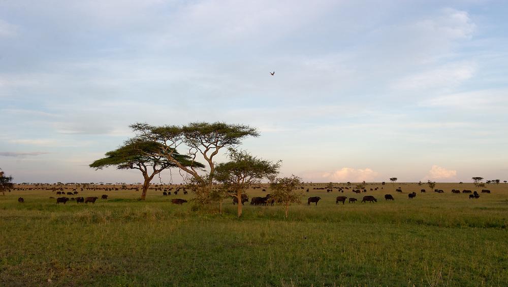 Landscape with buffalos in Serengeti