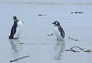 An adult and young  Megellanic Penguin (Spheniscus magellanicus) on the sandy beach near their nesting colony on Carcass Island. Carcass Island, Falkland Islands. 15Feb16