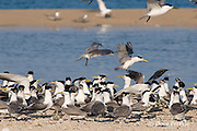 rising spring tide floods across the cay, threatening a breeding colony of crested terns, Sterna bergii, Turu Cay, Torres Strait, Queensland, Australia