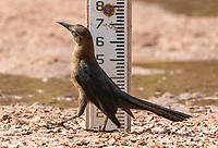 A female Great-tailed Grackle, Quiscalus mexicanus, walks past a depth indicator in the Riparian Preserve at Water Ranch, Gilbert, Arizona