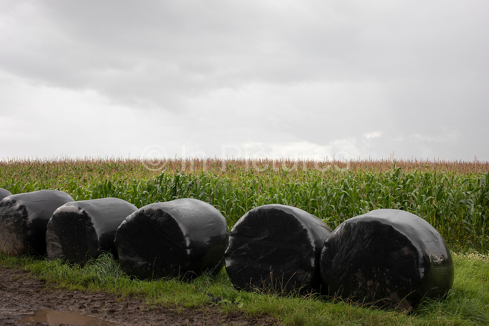 Black plastic rolled round silage bags beside a field of sweetcorn in Baddesley Clinton, England, United Kingdom. Silage is a form of conserved grass that is made by farmers during the summer months when the grass supply is plentiful and not required for grazing. The grass or maize is cut, piled and covered in an air tight seal known as a clamp, done here in plastic. Through this process it is fermented and stored, with the whole process known as ensilage, ensiling or silaging.