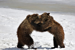 Grizzly Bear cubs appear to be dancing while they wrestle in Grand Teton Natonal Park. Thest two year old cubs would forage for a while then wrestle for a while. These cubs are of famous grizzly bear sow #399<br /> <br /> Contact for custom print options or inquiries about stock usage  - dh@theholepicture.com