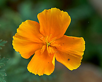Yellow California Poppy Flower. Image taken with a Fuji X-H1 camera and 80 mm f/2.8 macro lens