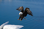 Bald Eagle, Haliaeetus leucocephalus, landing on iceberg, Kenai Peninsula, Homer Spit, Homer, Alaska. Digital original #2006_0829 ©Robin Brandt