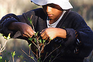 Bolivia. Dipartimento di La Paz..La foglia di coca delle Yungas viene raccolta con una tecnica particolare  volta a preservarne l'integrità..<br /> <br /> There is a special way to recollect the coca leaves and presere their integrity job, work, agricolture