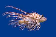 Lionfish (Pterois volitans) swimming against a blue background