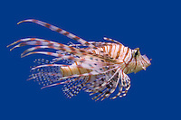 Lionfish (Pterois volitans) swimming against a blue background