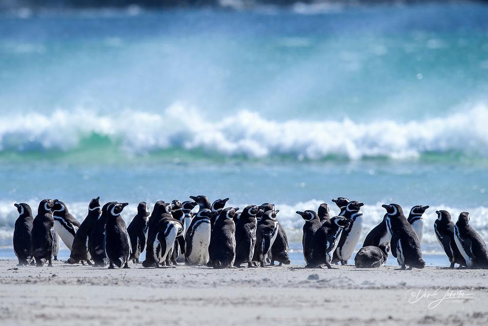 Magellanic penguin (Spheniscus magellanicus), Saunders Island, West Falkland, Falkland Islands