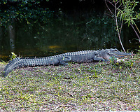 Alligator in the  Florida Everglades photo by Catherine Brown