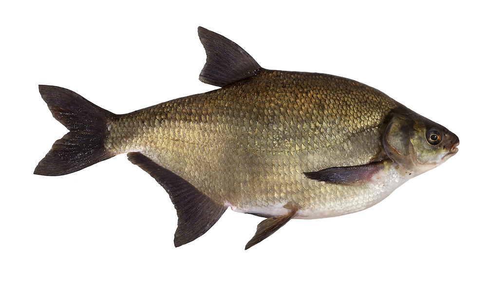 Common Bream Abramis brama Length 30-50cm <br /> This distinctive, extremely deep-bodied fish has a 'humpback' profile behind the head; the body is laterally compressed when viewed head-on. Adult has a golden-brown body, palest below, and dark reddish-grey fins. Bream are locally common in weedy lowland lakes and slow-flowing rivers, mainly in England. Their natural range is completely confused as a result of introductions by anglers.