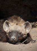 A young hyena sleeps in the shade of its den in the Okavango Delta, Botswana