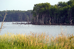 09 April 2005:   A long row of Canadian geese swim parallel to the shore of an island in the middle of a lake.